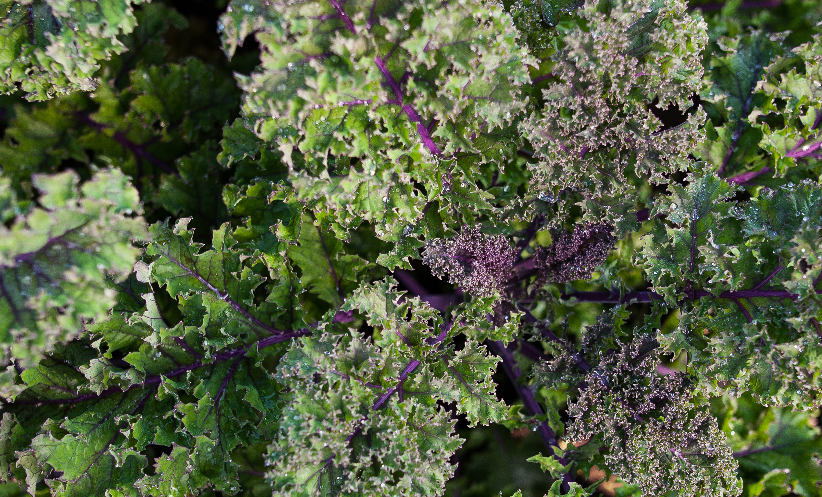 country magic red kale close up