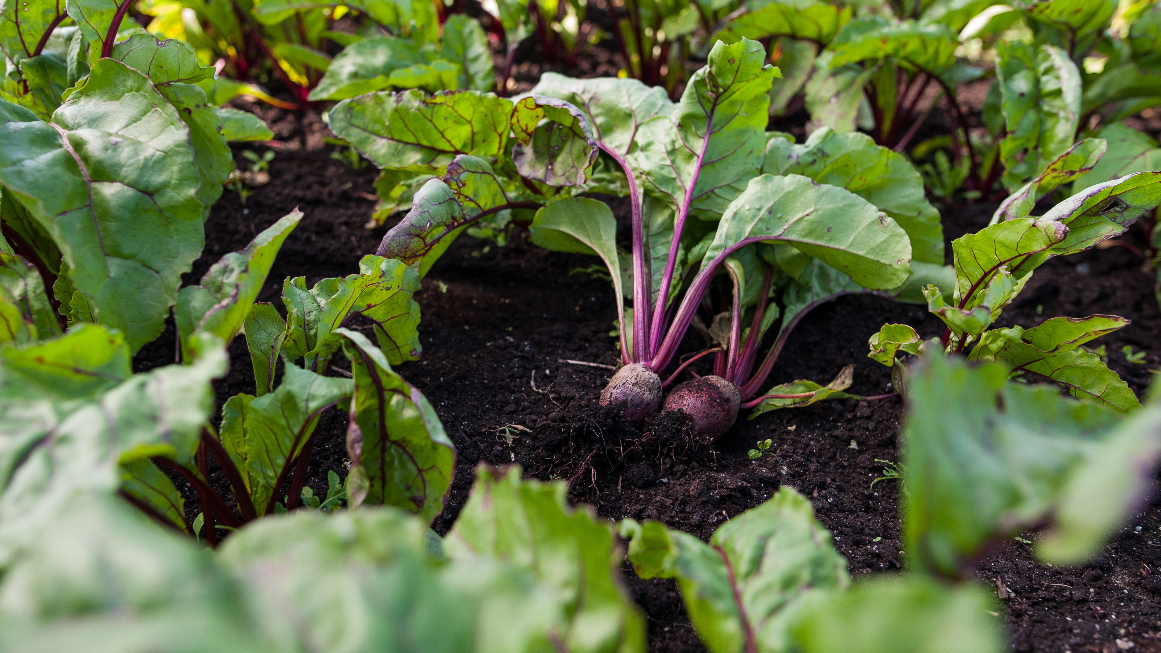 Country Magic Beets in field freshly harvested