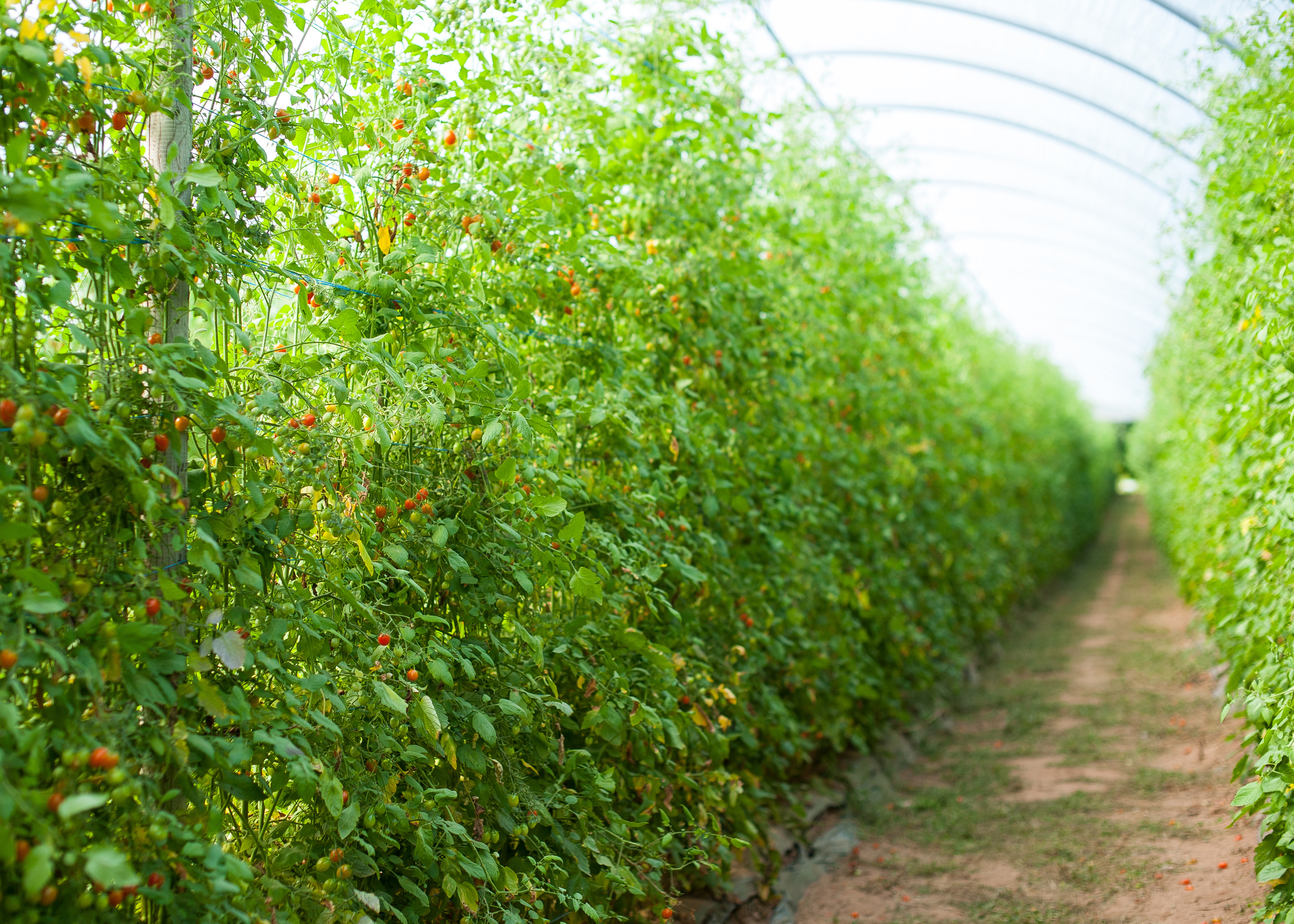 Country Magic Grape Tomatoes growing in Hayrgove tunnels