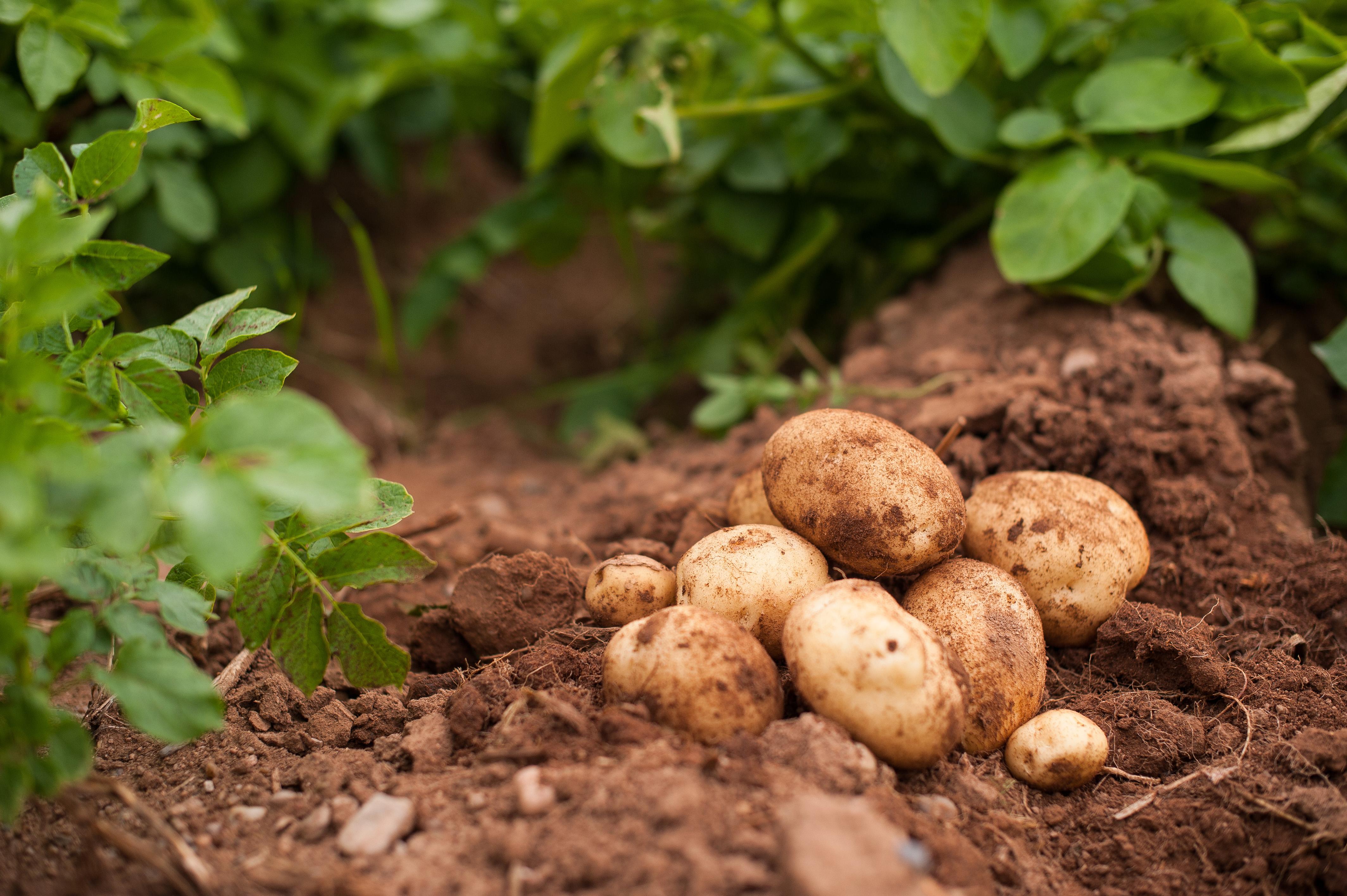 Country Magic New White Potatoes freshly dug potatoes in field