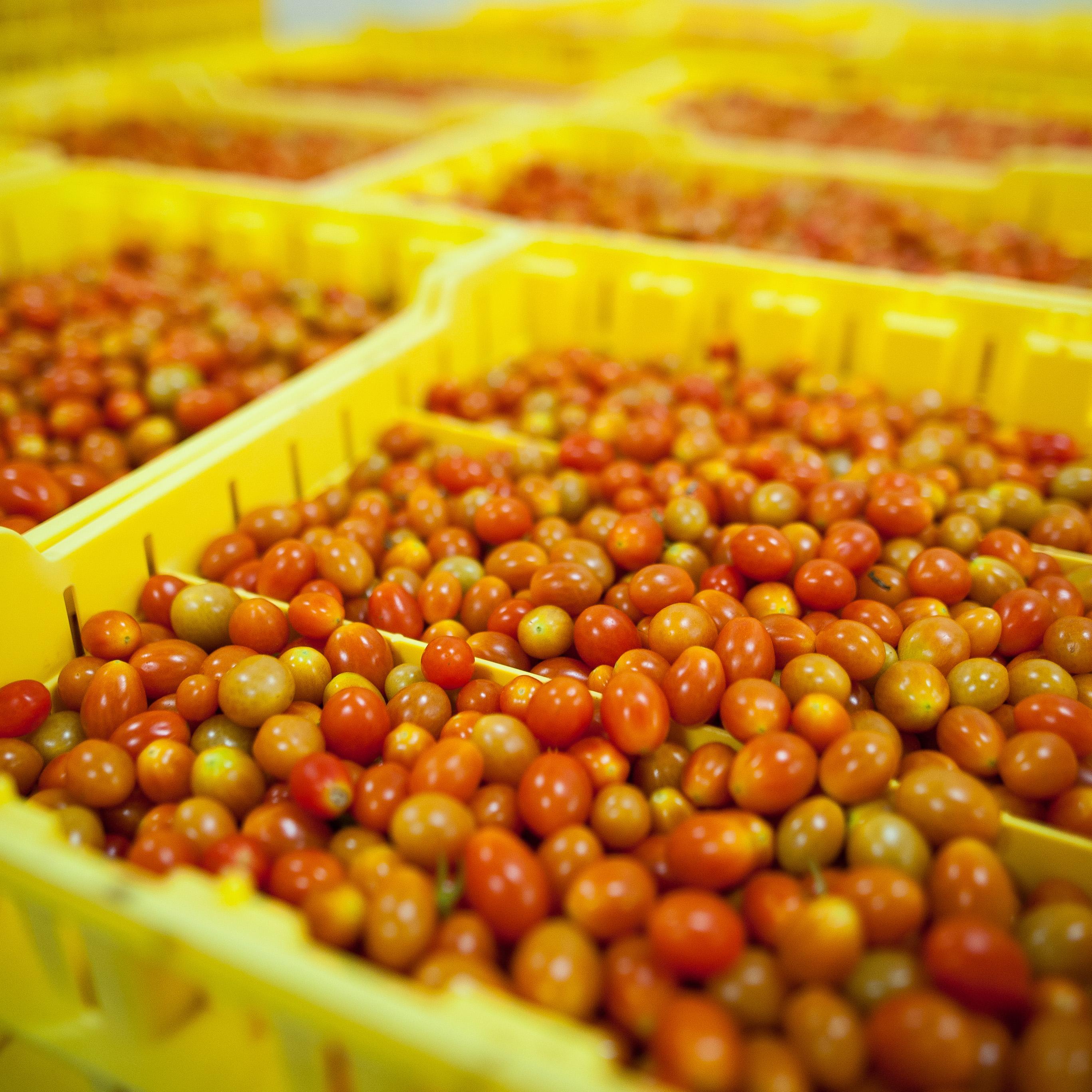Country Magic Grape Tomatoes in bulk storage