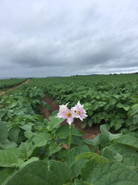 Country Magic Potato blossoms