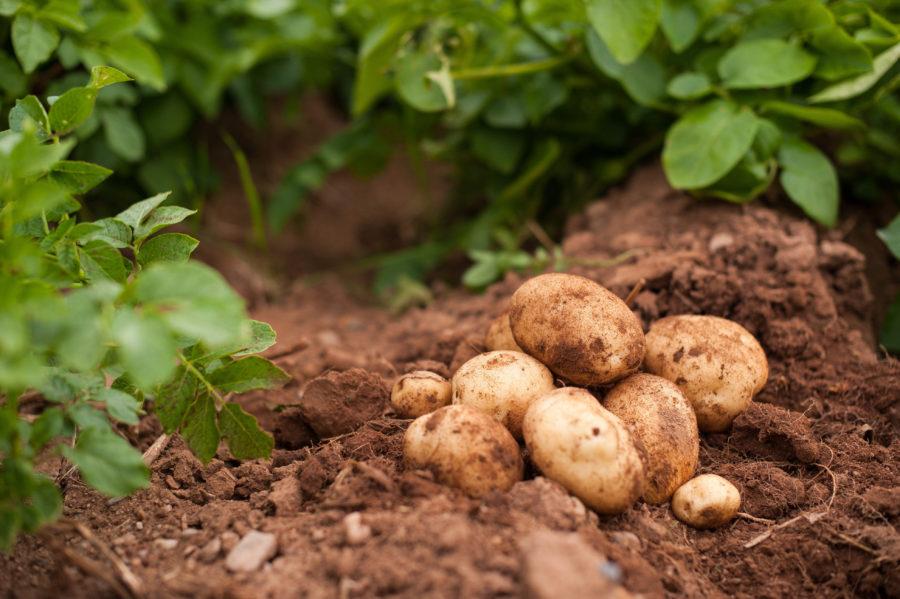 Country Magic white potatoes dug in field